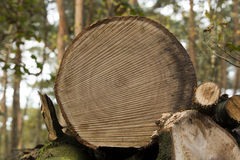 Cut trunk. Nice close-up of a cut trunk with the detailed kerf Royalty Free Stock Images