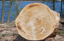 Cut trunk of a tree Royalty Free Stock Image