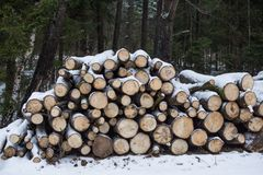 The cut trunks of trees lie under snow. winter logging.  firewood. Royalty Free Stock Images