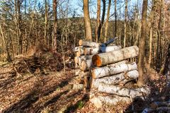 Cut up birch on a pile in the forest. Work in forest. Felling trees. Firewood. Spring evening in the forest.  stock images