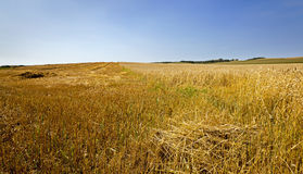 Cut wheat Stock Image