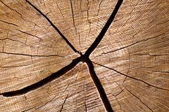 Cut white oak log Stock Image