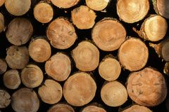 Cut wood arranged in the forest at sunset.  royalty free stock images
