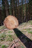 Cut wood in the forest. Pine forests and cut one tree Stock Photography