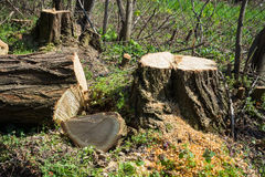 Cut wood and a stump from acacia Royalty Free Stock Images