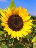 Circle Sunflower stock image