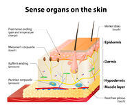 Cutaneous Receptors. Sense organs on the skin. Skin layers and principal cutaneous receptors Royalty Free Stock Photo