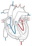 Cutaway do coração Foto de Stock Royalty Free