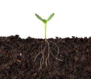 cutaway korzeni roślin Obrazy Royalty Free