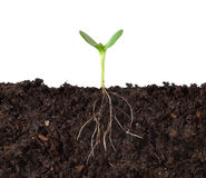 Cutaway of Plant and Roots. Cutaway of a seedling growing in dirt, profiled against white Royalty Free Stock Images