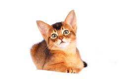 Cute abyssinian kitten Stock Photo