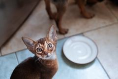 Cute Abyssinian kitten Looks up , wants to eat. Cats and dogs eating together. Concept stock photography