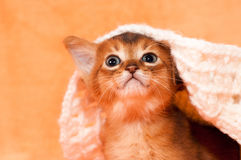 Cute abyssinian kitten portrait Royalty Free Stock Images