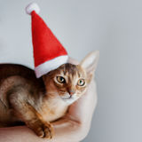 Cute Abyssinian kitten in a Santa cap, holiday is coming Royalty Free Stock Photo