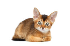 Cute Abyssinian Kitty Funny Lying on Isolated White Background Stock Image