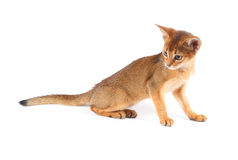 Cute abyssinian kitty isolated Stock Images