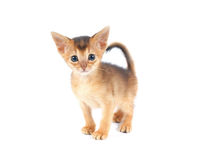 Cute abyssinian kitty isolated Royalty Free Stock Images
