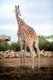 Cute Adorable Adult Giraffe, eating. Cute Adorable Adult Giraffe eating Stock Photography