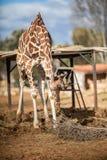 Cute Adorable Adult Giraffe, eating. Cute Adorable Adult Giraffe eating Stock Photo