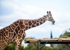 Cute Adorable Adult Giraffe, eating. Cute Adorable Adult Giraffe eating Royalty Free Stock Images
