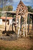 Cute Adorable Adult Giraffe, eating. Cute Adorable Adult Giraffe eating Royalty Free Stock Photo