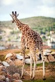 Cute Adorable Adult Giraffe, standing. Cute Adorable Adult Giraffe, Rear, standing Stock Photography