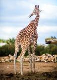 Cute Adorable Adult Giraffe, standing. Cute Adorable Adult Giraffe standing Stock Photo