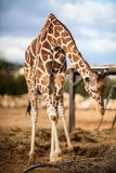 Cute Adorable Adult Giraffe, eating. Cute Adorable Adult Giraffe, trying to reach food Stock Photography