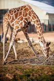 Cute Adorable Adult Giraffe, eating. Cute Adorable Adult Giraffe, trying to reach food Stock Photos