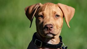 cute adorable American Pitbull terrier puppy