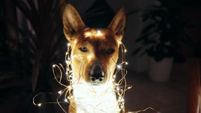 Basenji puppy decorated with christmas lights