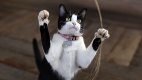 Cute adorable black white kitten. Plays with leaves Royalty Free Stock Images