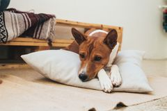 Little basenji dog rests on pillow Royalty Free Stock Photo