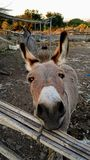Cute donkey close up. Cute adorable donkey close up Royalty Free Stock Photography