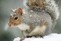 Cute and adorable eastern gray squirrel in snowfall with one hand held up to chest Stock Images