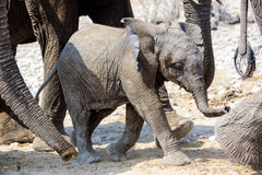 Cute adorable Elephant baby Royalty Free Stock Images