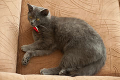 Cute adorable gray cat with red bow tie lying on the bed in the Stock Photography