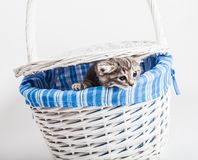 Grey kitten looking out from a basket on white. Cute adorable kitten hiding in a white basket Stock Photography