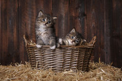 Cute Adorable Kittens in a Barn Setting With Hay Royalty Free Stock Image