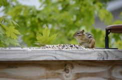 Cute and Adorable little Chipmunk Royalty Free Stock Image