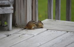 Cute and Adorable little Chipmunk Royalty Free Stock Photography