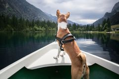 Basenji dog sits on boat at alpine lake. Cute and adorable little puppy or dog of basenji breed stands on edge of boat front overlooking the scenery and views of stock images