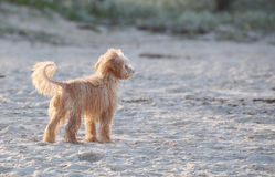 A Cute Adorable Little Scruffy Dog Alone on Beach. A very wet scruffy dog looking completely lost on white sandy beach, Gold Coast, Australia stock image