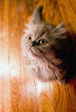 Cute adorable Persian kitten. Looking up on a wooden hardwood floor background Stock Images