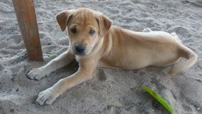 Puppy dog lying down on beach looking at me royalty free stock photos