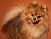 Cute, adorable spitz Royalty Free Stock Images