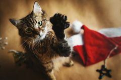Cute adorable sweet cat playing with stylish christmas red hat, royalty free stock photography