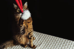 Cute adorable sweet cat playing with stylish christmas red hat, Royalty Free Stock Images