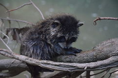 Cute, Adorable & wet Baby Raccoon goes swimming. Resting on tree branch Stock Photography