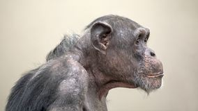 Adult Chimpanzee portrait royalty free stock photo